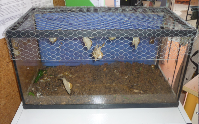 un levage d escargots dans la classe les petits z bres. Black Bedroom Furniture Sets. Home Design Ideas